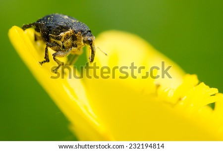 Close-up of a snout beetle (Curculio crux) on a buttercup