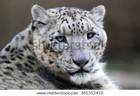 Close-up of a Snow leopard - stock photo