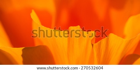 close up of a soft orange petal of a California Poppy - stock photo