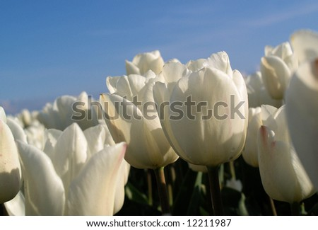 Close-up of a some white tulips against a blue sky - stock photo