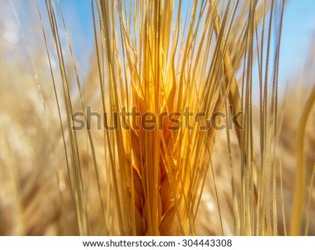 Close up of a spigot of wheat - stock photo