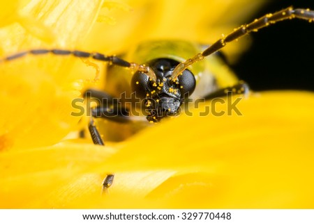 Close up of a spotted cucumber beetle on a bright yellow flower - stock photo