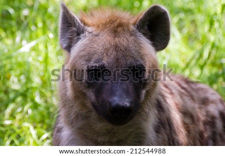 Close-up of a spotted hyena - stock photo