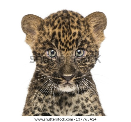 Close-up of a Spotted Leopard cub starring at the camera - Panthera pardus, 7 weeks old, isolated on white - stock photo