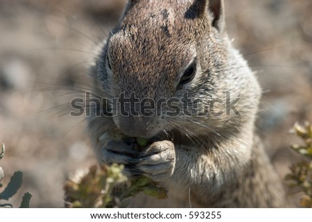 Close-up of a squirrel nibbling on plant life near the coastline, pacific coast - near Big Sur.