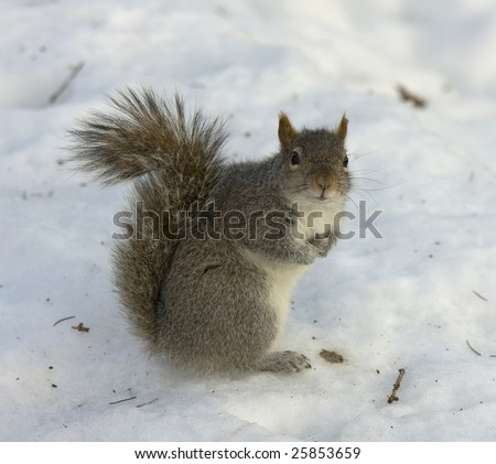 Close up of a squirrel standing in the snow, attention captivated by the camera