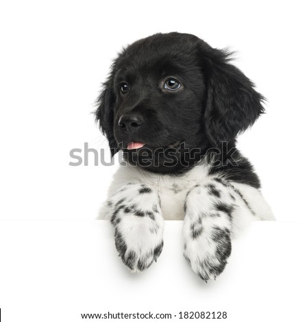 Close-up of a Stabyhoun puppy, tongue out, leaning on a white board, isolated on white - stock photo