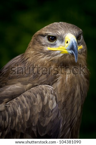 close-up of a steppe eagle (Aquila nipalensis) - stock photo