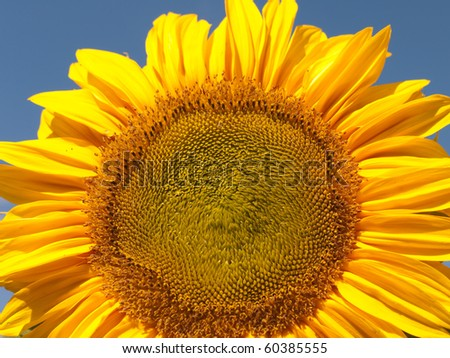 Close-up of a Sunflower - stock photo