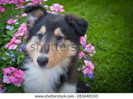 Close up of a sweet Collie puppy with flowers around her along with copy space