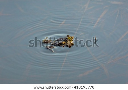 Close up of a swim toad in the suburban pond - Russia - stock photo