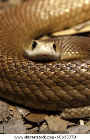 Close up of a Taipan's head and body looking straight at the camera - One of the most poisonous snakes in Australia.  they have a short temper and will defend themselves with lightening fast strikes - stock photo