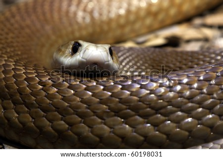 Close up of a Taipan's head and body - One of the most poisonous snakes in Australia.  they have a short temper and will defend themselves with lightening fast strikes
