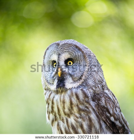 Close up of a Tawny Owl (Strix aluco) in woods - stock photo