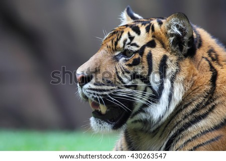 Close up of a Tiger (Panthera tigris) in a zoo.