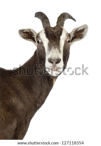Close-up of a Toggenburg goat looking at camera against white background - stock photo