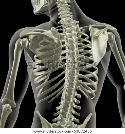 Close up of a torso of a medical skeleton - stock photo