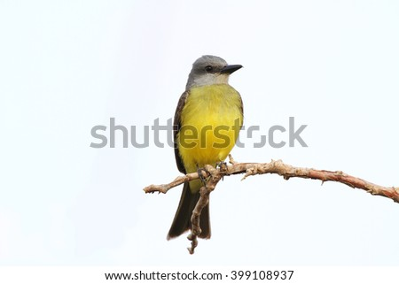 Close up of a Tropical Kingbird perched on a tree branch waiting for insects