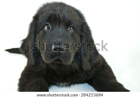 Close up of a very cute Newfoundland puppy looking to the left or looking guilty of something.