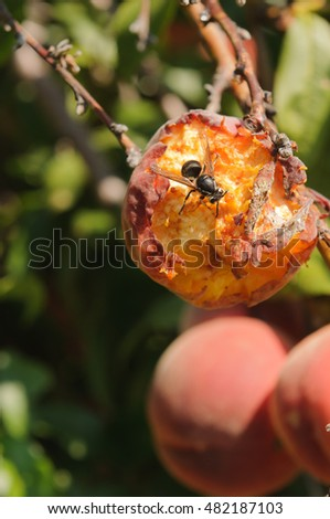 Close-up of a wasp eating peaches on the tree, destroying the crop