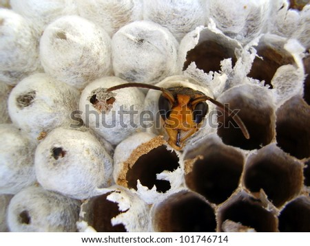 Close up of a wasp emerging from a wasps nest - showing empty cells on the right where wasps have already left and young wasps about to break out on the left - stock photo