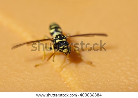 close-up of a wasp walking on the floor