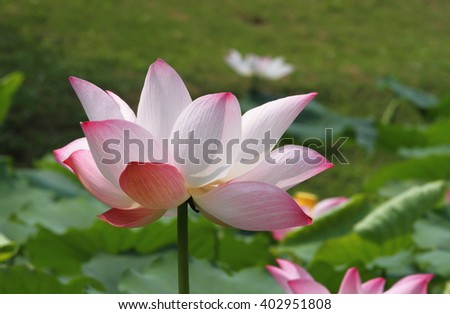 Close up of a water lily  - stock photo