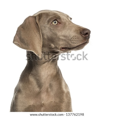 Close-up of a Weimaraner puppy profile, 2,5 months old, isolated on white - stock photo