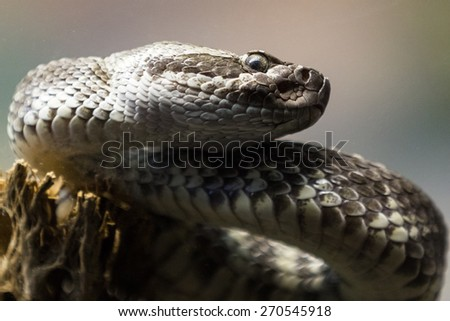 close up of a western diamond-backed rattlesnake (crotalus atrox) photo taken thru a glass partition in a zoo - stock photo