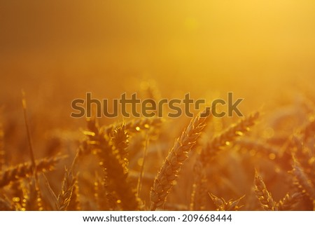 Close-up of a wheat field by sunset, headlight.