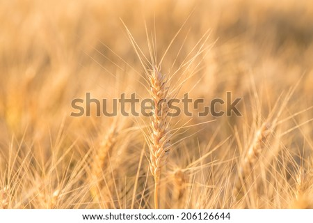 Close up of a wheat field - stock photo