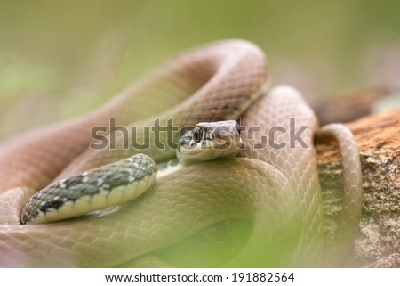 Close up of a Whip snake in the Pirin Mountains in Bulgaria - stock photo