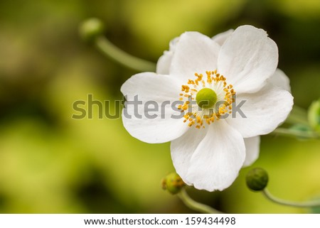 Close-up of a white anemone flower - stock photo