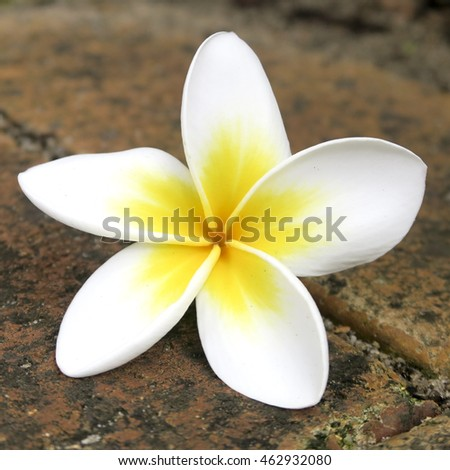 Close up of a white frangipani flower on brick pavers