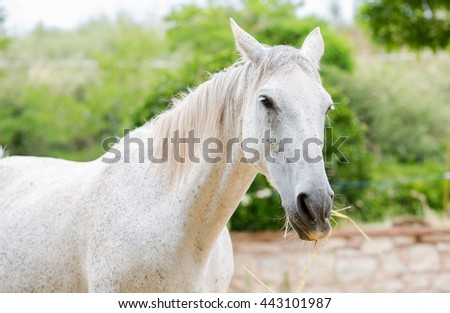 Close-up of a white horse eating straw