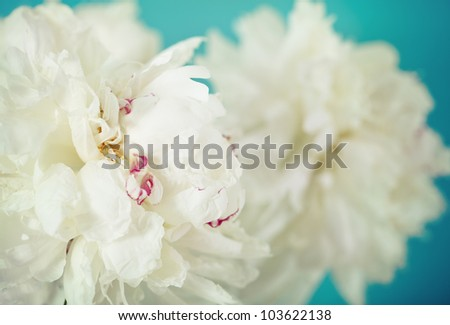 Close-up of a white peony  flowers over blue in retro style - stock photo