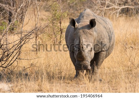 Close-up of a white rhino in the bush with tough wrinkled skin - stock photo