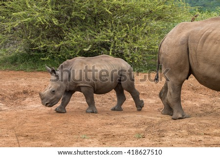 Close up of a White Rhinoceros calf walking away from its mother (Ceratotherium simum) in Pilansberg, South Africa