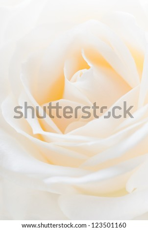 Close-up of a white rose. Shallow depth of field. - stock photo