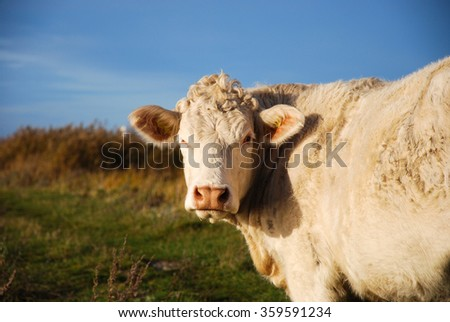 Close up of a white sunlit cow with natural background in fall colors