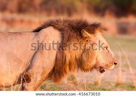 Close up of a Wild African Lion - stock photo