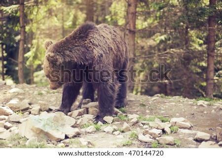 Close up of a wild big male brown bear in colorful green rocky terrain swamp carefully watching surroundings