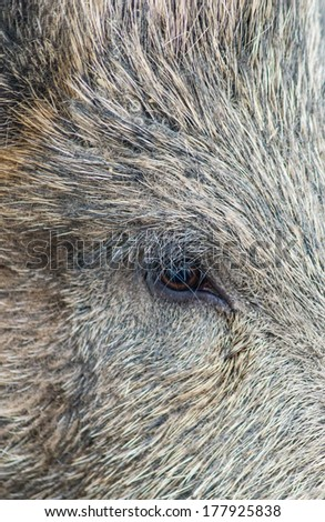 Close-Up of a Wild boar's eye
