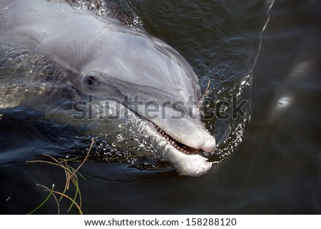 Close up of a wild bottle nose dolphin dolphin  - stock photo