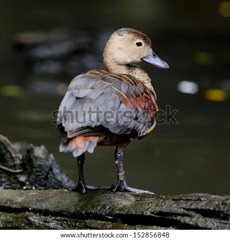 Close-up of a wild Duck - stock photo