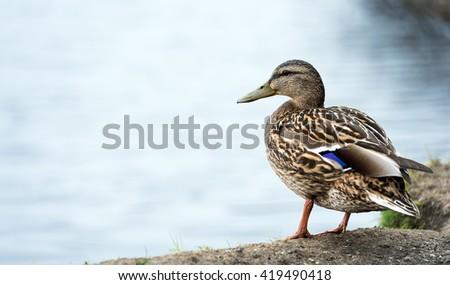 Close-up of a wild, female Mallard Duck ( Anas platyrhynchos ) floats on dark waters. - stock photo