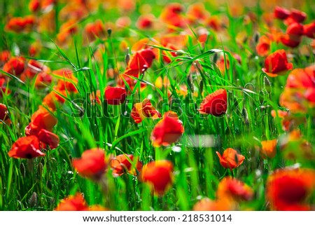close up of a wild flower- poppy-shallow DOF - stock photo