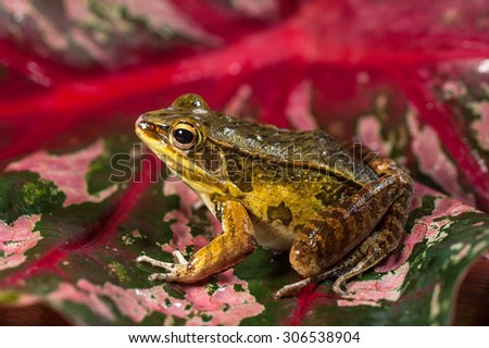 Close-up of a wild frog perched on pink leaf - stock photo