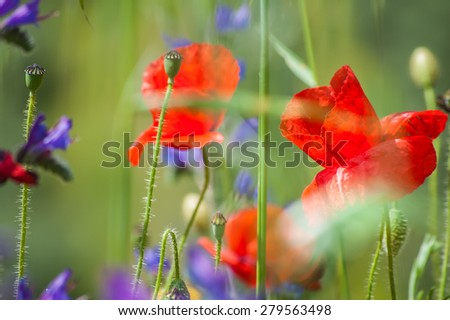 Close up of a wild poppy flower on a meadow