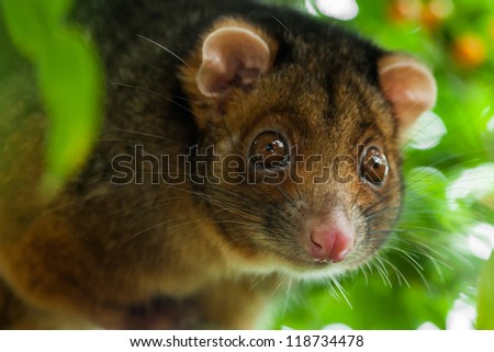Close up of a wild suburban ringtail possum, facing the camera with shallow depth of field.